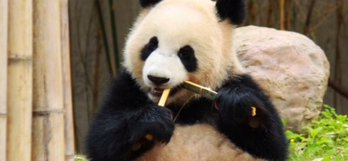 7 Interesting Facts About Pandas