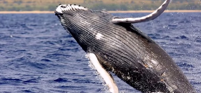 5 Interesting Facts About Humpback Whales