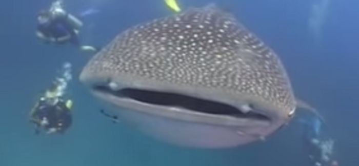 7 Interesting Facts About Whale Sharks