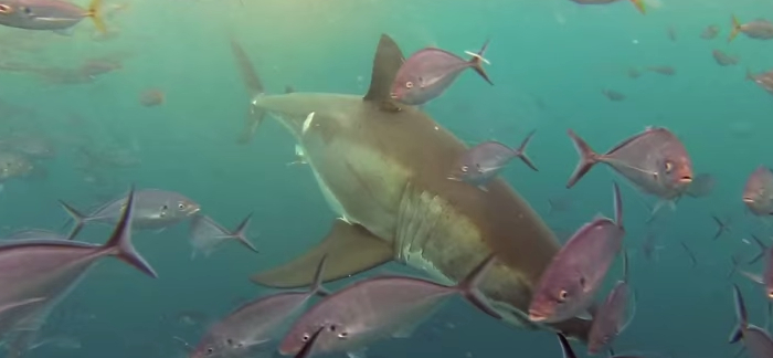11 Fun Facts About Great White Sharks