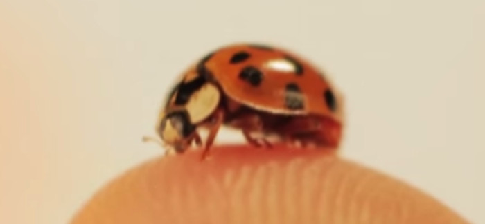 6 Interesting Facts About Ladybugs