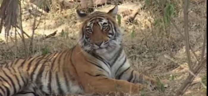 4 Interesting Facts About Bengal Tigers