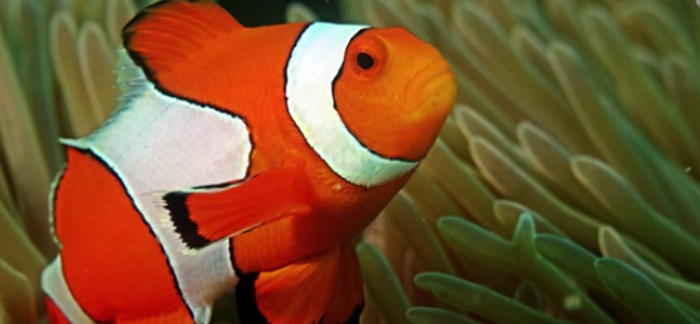 5 Interesting Facts About Clownfish