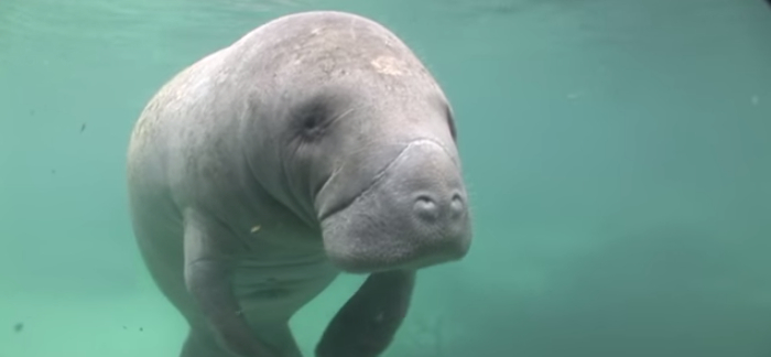 8 Important Facts About Manatees
