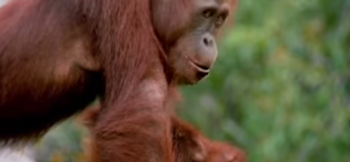 8 Interesting Facts About Orangutans