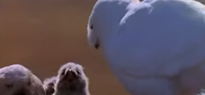 Important Facts About Snowy Owls