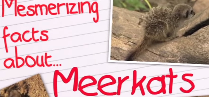11 Interesting Facts About Meerkats